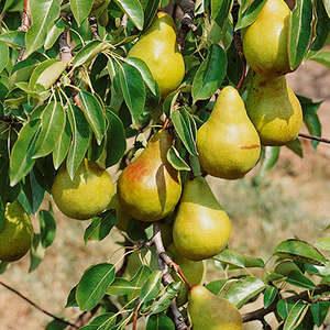 Nursery - Fruit Trees