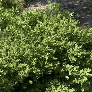 Nursery - Broadleaf Evergreen
