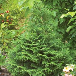 Nursery - Evergreens