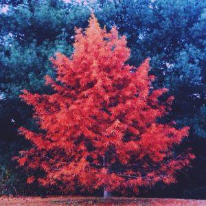 Nursery - Shade & Ornamental Trees