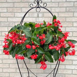 begonia fancy red