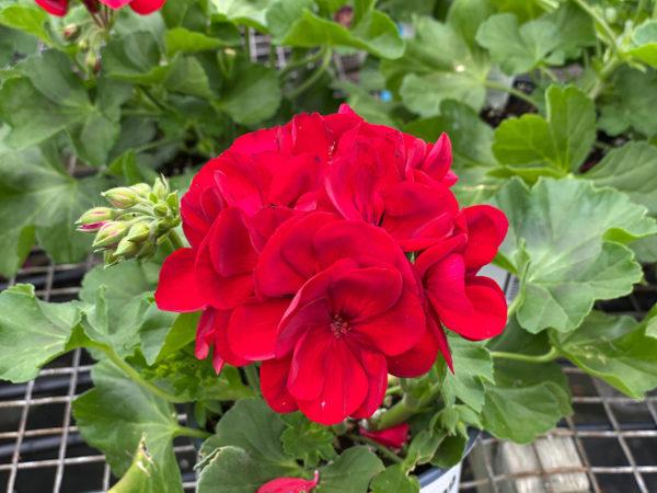 Geranium Calliope med dark red