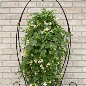 lophospermum 11 inch