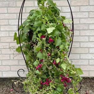 Lophospermum basket