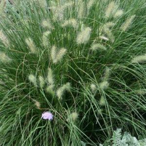 Perennials - Grasses 2021