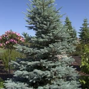 Nursery 2021 - Evergreens